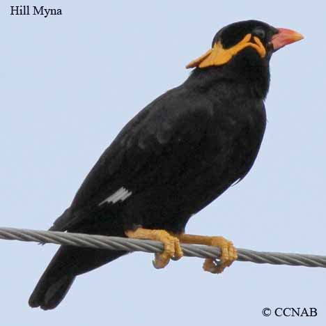 hill myna north american birds birds of north america