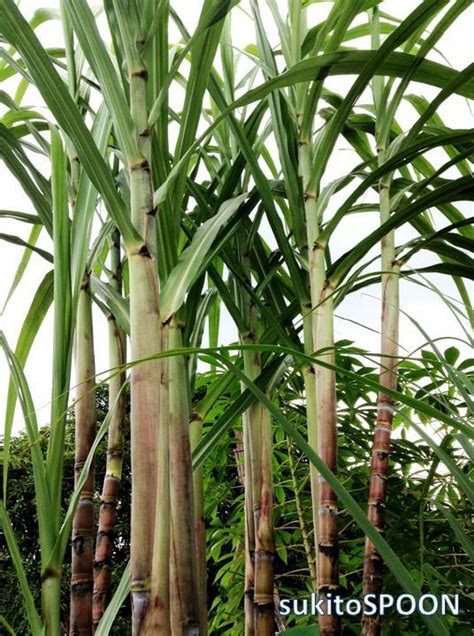 la tubo food feature sugarcane or tubo sukitospoon