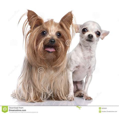 yorkie con chihuahua pares perro terrier y chihuahua de fotos de archivo imagen 9893863