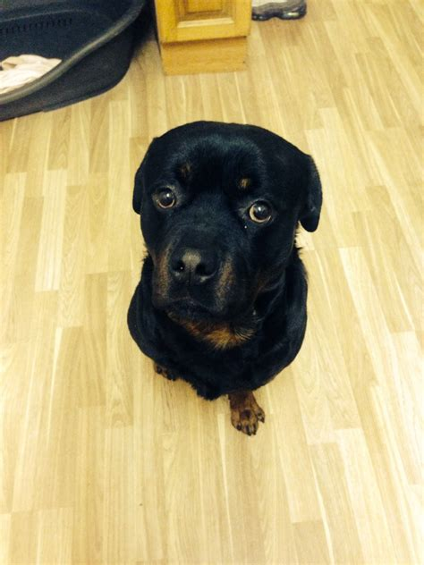 german rottweiler stud german rottweiler for stud widnes cheshire pets4homes