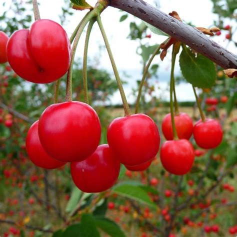 cherry tree fruit growing cherry trees from seeds garden season guide