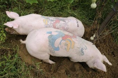 tattooed pigs wim delvoye tattooing pigs for the of provocation