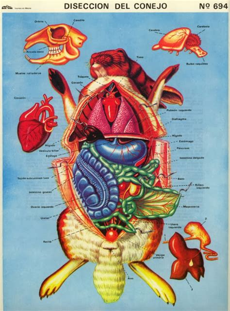 Kelinci Kaki S anatomi kelinci saung rabbit