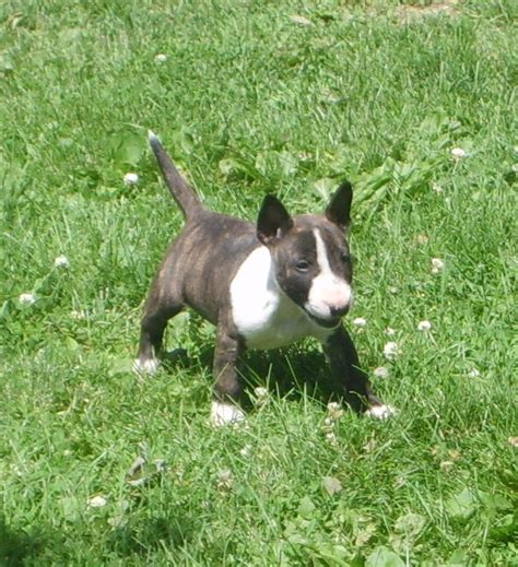 bull terrier puppies bull terrier puppies www imgkid the image kid has it