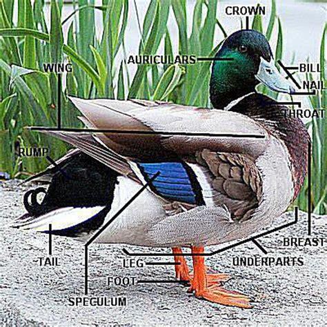 duck diagram parts of a duck duck anatomy diagram