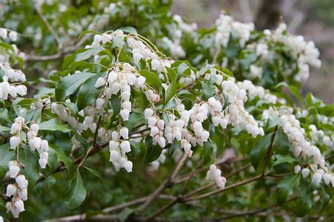 7 easy to care for flowering shrubs the garden lady