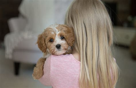 cavapoochon puppies for sale bluebell pup cavapoochon puppies for sale