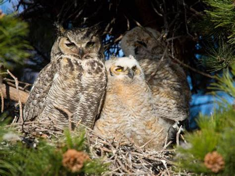 owl family moved from nest in colorado springs 171 cbs denver
