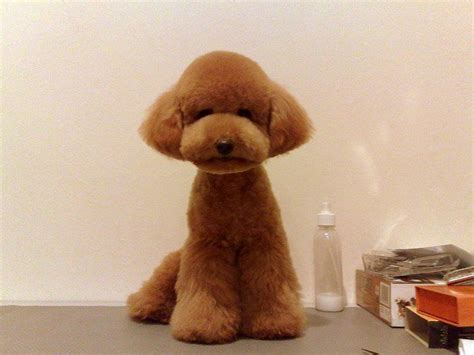 pictures of a teddy bear cut flared foot teddy bear cut on a red teacup poodle puppy