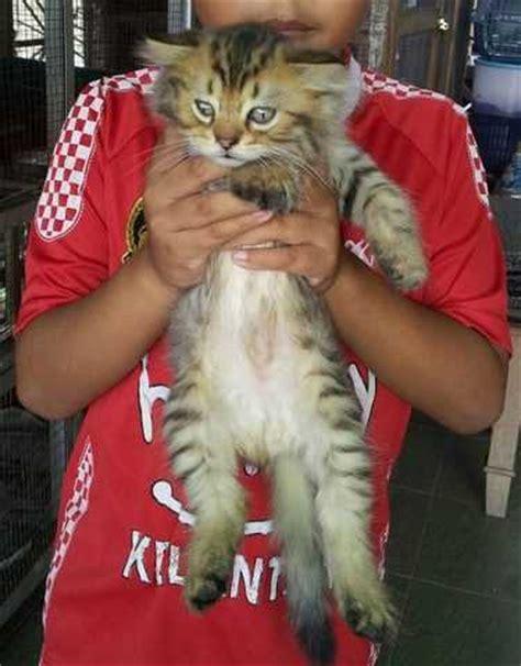 Harga Pet Shop Kucing by Harga Anak Kucing Maine Coon Malaysia Popular Breeds Of