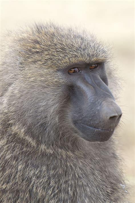 baboon wikipedia