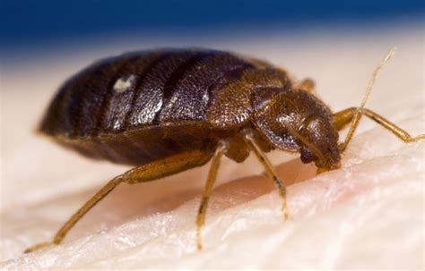 Bed Bugs In Bathroom The Global Resurgence In Bed Bugs Has Been Attributed To
