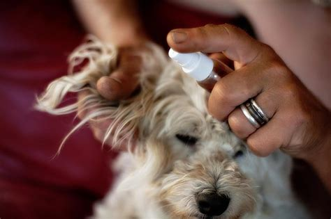 how to keep flies dogs how to keep flies from biting a s ears with pictures ehow