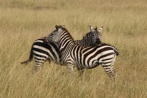 imagenes de animales cebra las rayas de las cebras