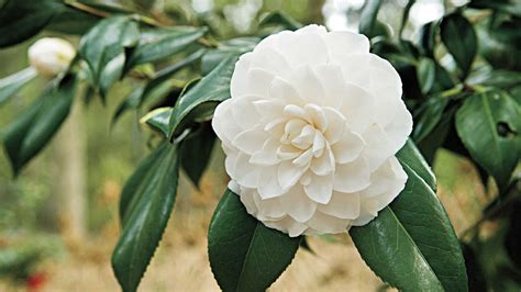 complete guide  camellias southern living