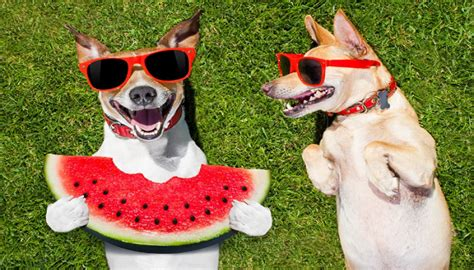 is watermelon ok for dogs can dogs eat watermelon healthy and desirous fruit