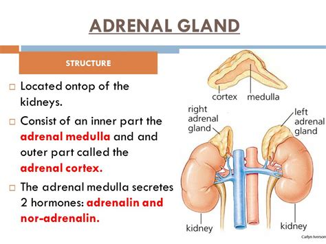 The Outer Section Of The Adrenal Gland Is The 28 Images