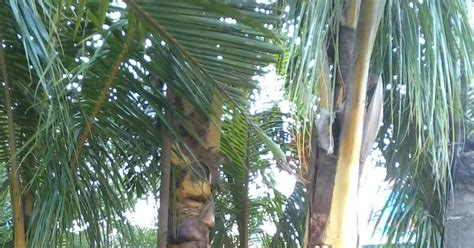 Bibit Kurma Kuning Benih Tanaman Pohon Kurma Kuning Bibit Buah Kurma jual pohon kelapa hias kelapa kuning kelapa gading