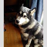 Cute Husky In Snow | 765 x 917 jpeg 209kB