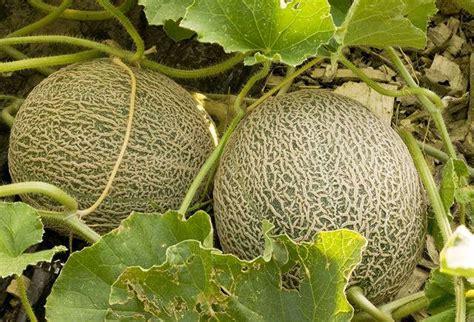 Budidaya Bertanam Melon cara budidaya melon pertanian tv