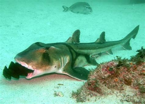 baby shark egg port jackson shark with an egg case in its mouth