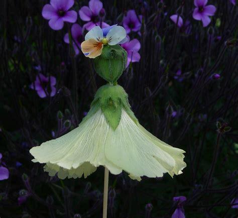 thyme   bottle hollyhock dolls abutilon dolls flower