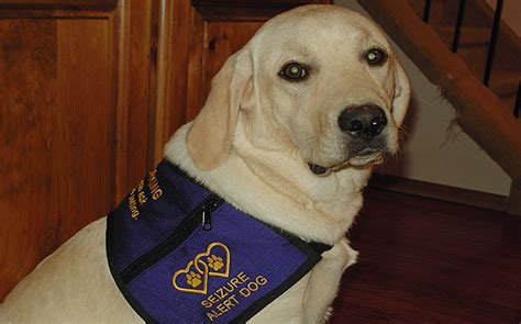 seizure dogs dogs sixth sense to assist seizure sufferers paddington pups
