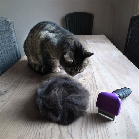 Cats And Shedding by Explaining Your Cat S Shedding Season Cbwp