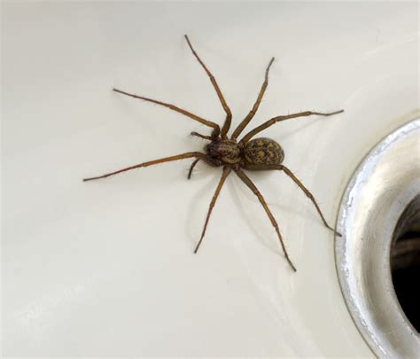 House Spiders by House Spiders In Pittsburgh Pa Pennsylvania House Spider