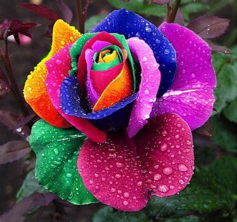 rainbow colored roses 200pcs colorful rainbow flower seeds home garden