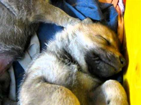 cuccioli in casa lupo cecoslovacco cuccioli in casa lupi montale