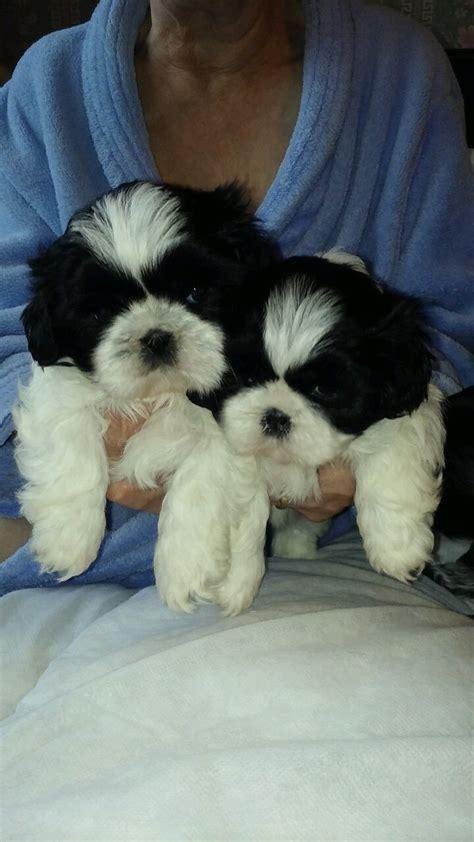 shih tzu puppies west shih tzu puppies bradford west pets4homes