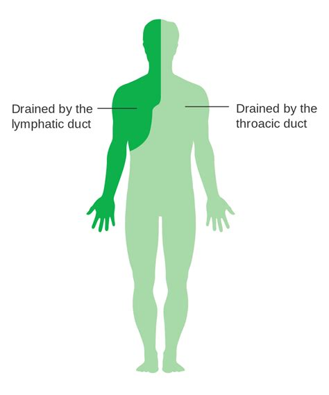 file diagram showing the parts of the body the lymphatic file diagram showing the parts of the body the lymphatic
