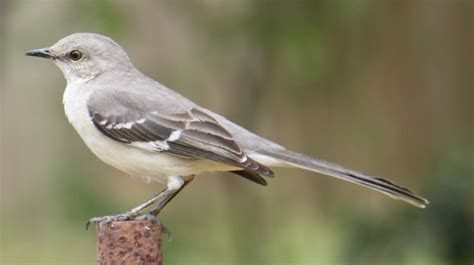 A Mocking file northern mocking bird mimus polyglottos jpg