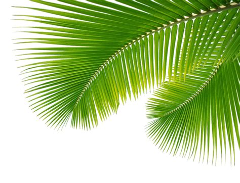 wallpaper daun palma palm leaf leaves png 43070 free icons and png backgrounds