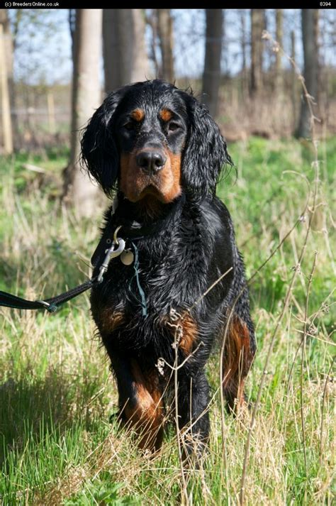 gordon setter hunting dogs for sale 116 best х gordon setter scottish setter images on pinterest