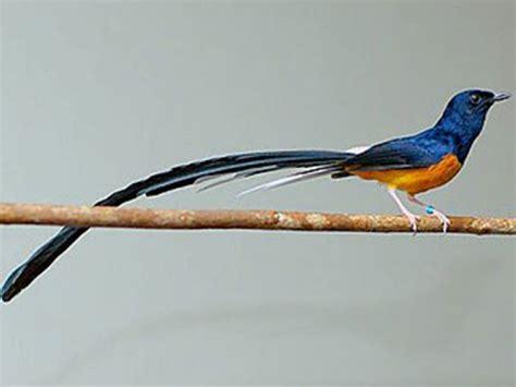 gambar burung murai medan beberapa jenis burung murai batu murai batu medan murai