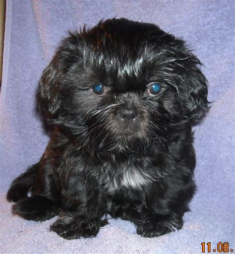 puppies for sale decatur il shih tzu puppies for sale in illinois