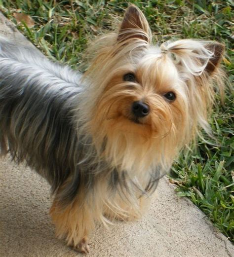yorkie round face cut 50 damn cute yorkie haircuts for your puppy hairstylec