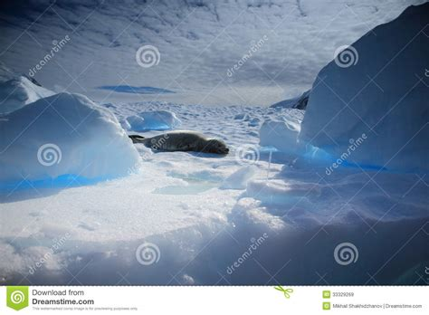 relaxing blue relaxing blue 28 images crabeater seal royalty free