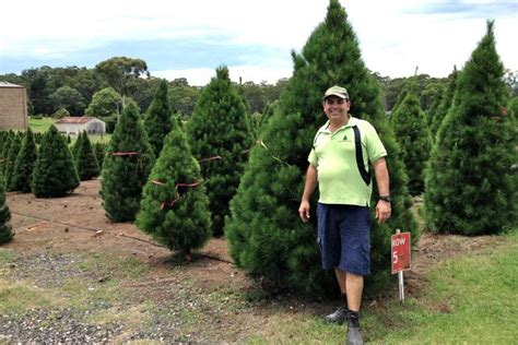 real christmas tree sydney business booms for sydney tree farms as demand grows for fresh pines abc news
