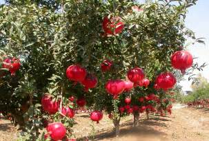 indian pomegranate farms bhagwa variety indian food
