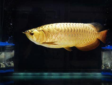 Anakan Arwana Pino gambar dan poto ikan arwana tercantik dan termahal di