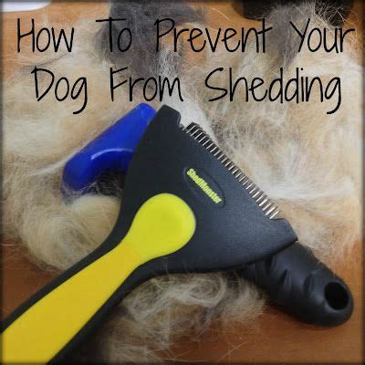 how to stop shedding home remedy how to prevent your from shedding information