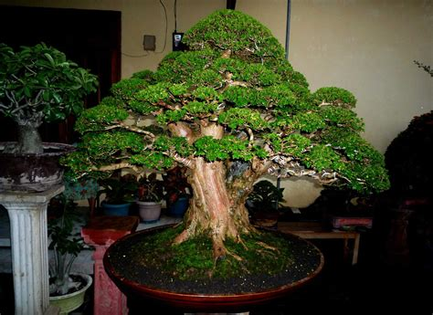 Bakalan Bonsai Santigi wahong bonsai santigi bakalan bonsai
