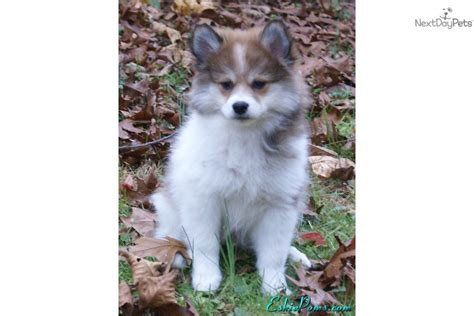 puppies for sale in harrisburg pa american eskimo pomeranian puppies for sale breeds picture