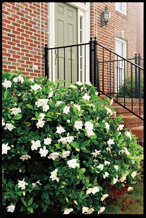 shrubs bushes flowering fast growing