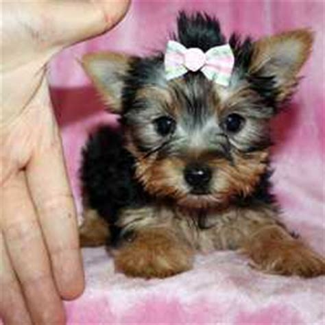 teacup yorkie los angeles pomeranians page 11 for sale ads free classifieds