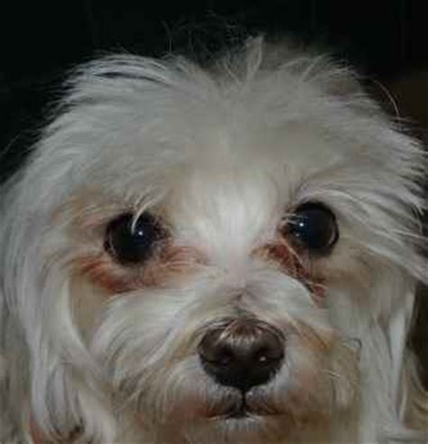 maltese shih tzu eye problems tear stains in shih tzu dogs