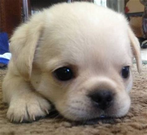maltese and pug mix pug and maltese muggese or malti pug puppy pug dogs and
